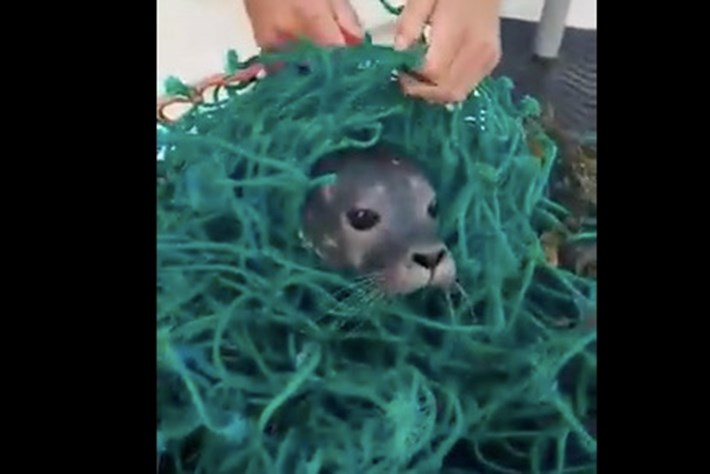 Watch: Maine fishermen free baby seal from discarded net