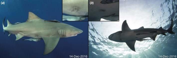 shark-healed-2017-7-20.jpg