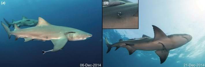 shark-first-2017-7-20.jpg