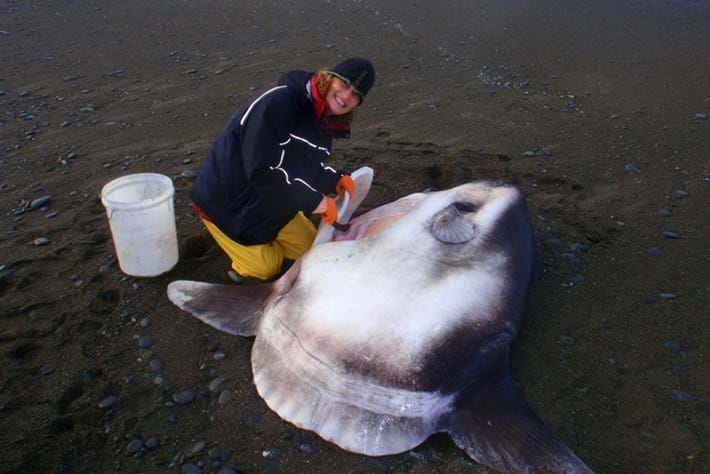 The four-year treasure hunt for the hoodwinker sunfish