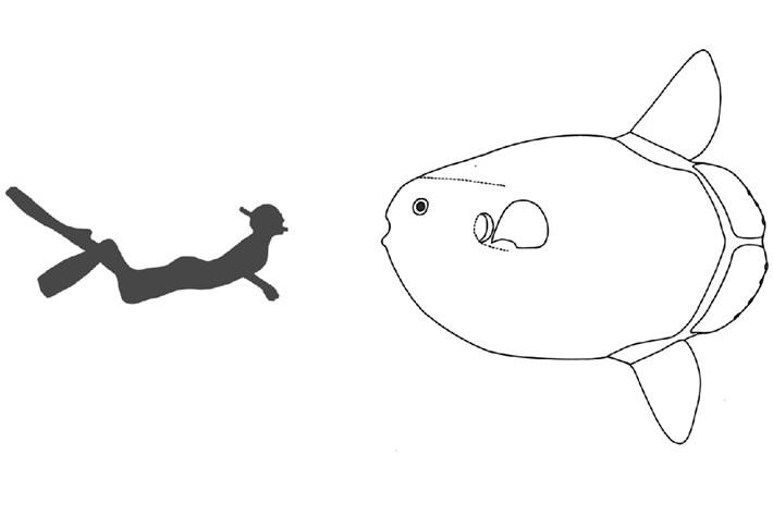 hoodwinked_sunfish_size_diagram_2017-07-20.jpg