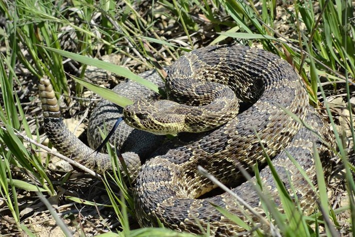 Exciting sightings: Endangered rattlesnakes spotted in Iowa