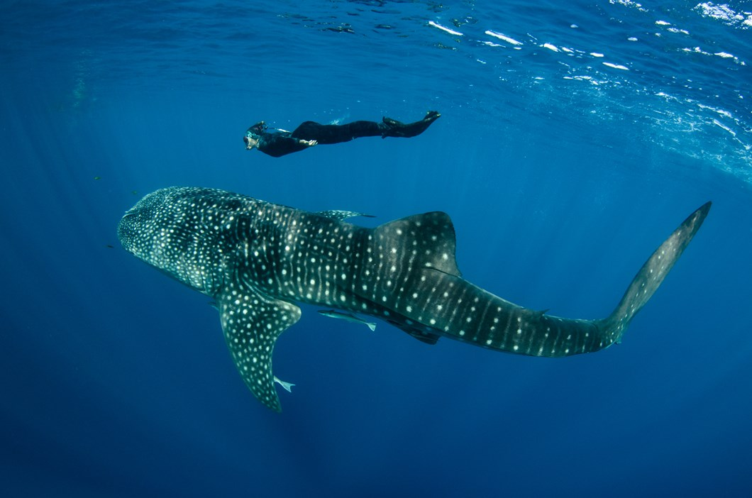 freediver_whale_shark_2017_07_25.jpg