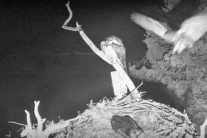Osprey nest cam proves the night is dark and full of terrors