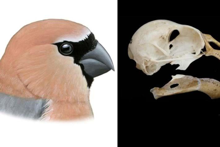 extinct bullfinch_2017_07_31.jpg