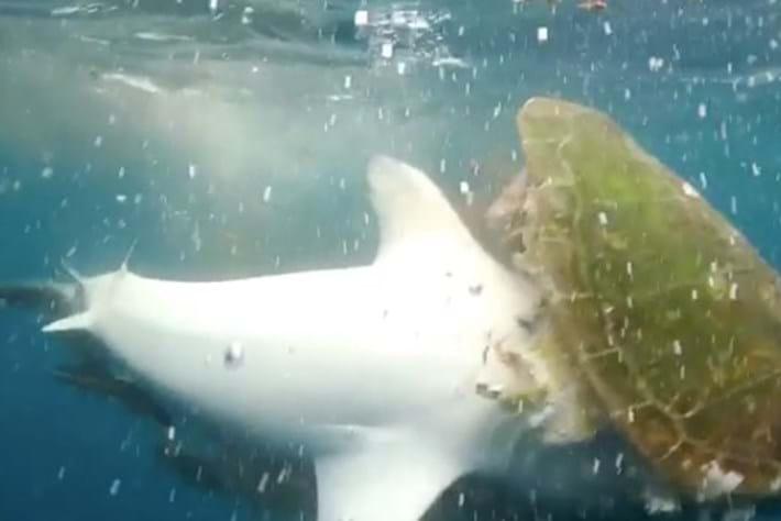 tiger shark-page-2017-9-1.jpg