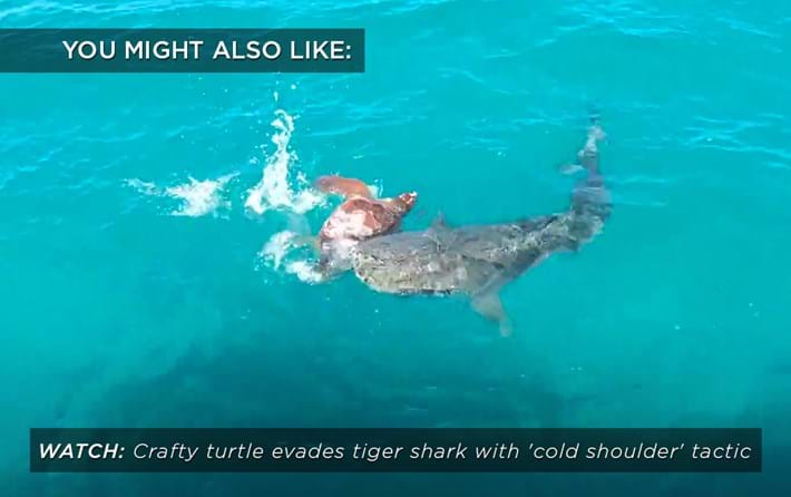 turtle_tigershark_related_02_08_17.jpg