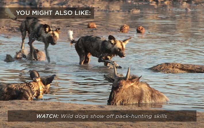 wild-dogs-wildebeest-trap_related_08_09_17.jpg