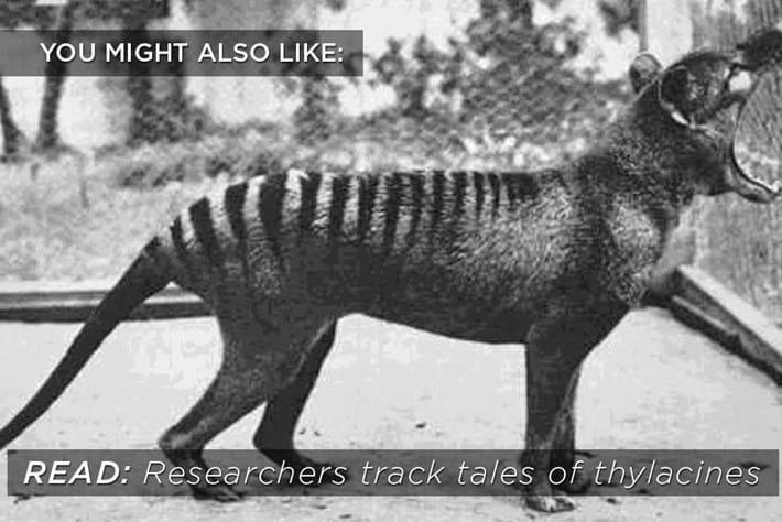 thylacine_related_2017-09-10.jpg
