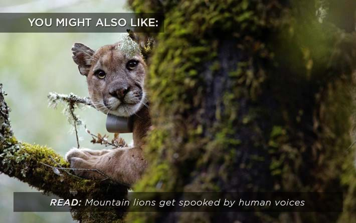 mountain-lion_human-voices_related_15_08_17.jpg