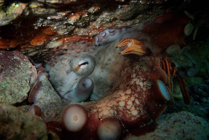 Octopus's garden: New shrimp species found in the den of a 'Super Star' cephalopod