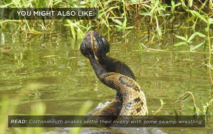 cottonmouth-wrestling_related_23_08_17.jpg