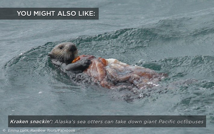 otters_octopus_snack_related_23_08_17.jpg