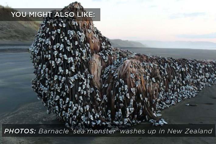 gooseneck_barnacles_related_content_2017-08-23.jpg