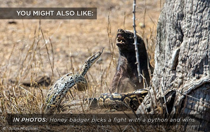 honey-badger_python_fight_related_24_08_17.jpg