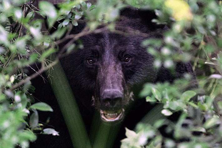 Black bear attacks: Staying safe around a mighty omnivore