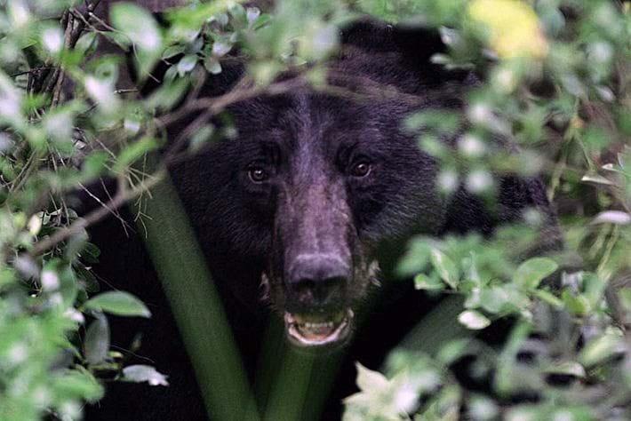 black_bear_in_the_bushes.jpg (1)