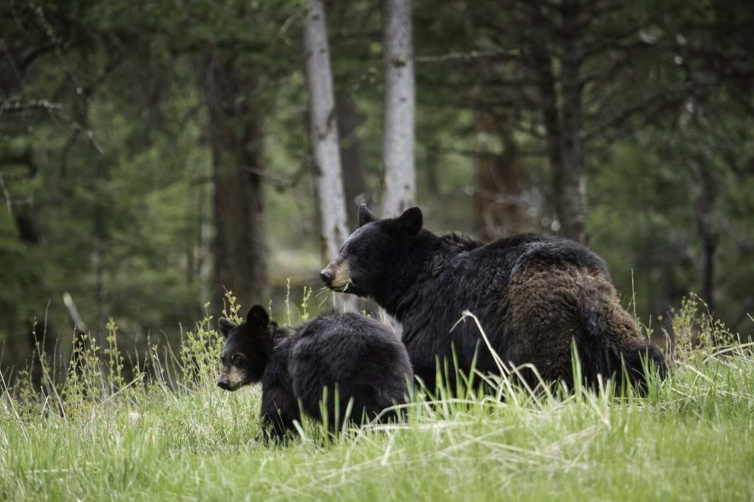 black bear and cub_2017_08_25.jpg