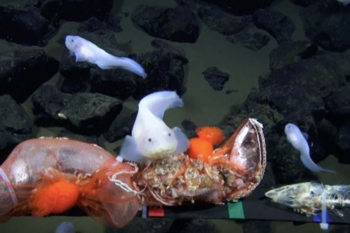 Watch: Fish sets new deep-diving record in the Mariana Trench