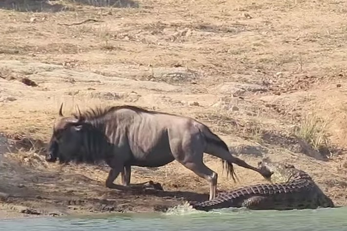 wildebeest_croc_2017-08-29.jpg