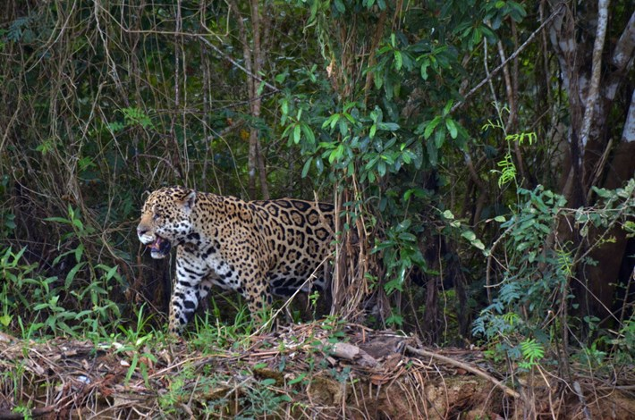 jaguar-thumb_2017_08_29.jpg
