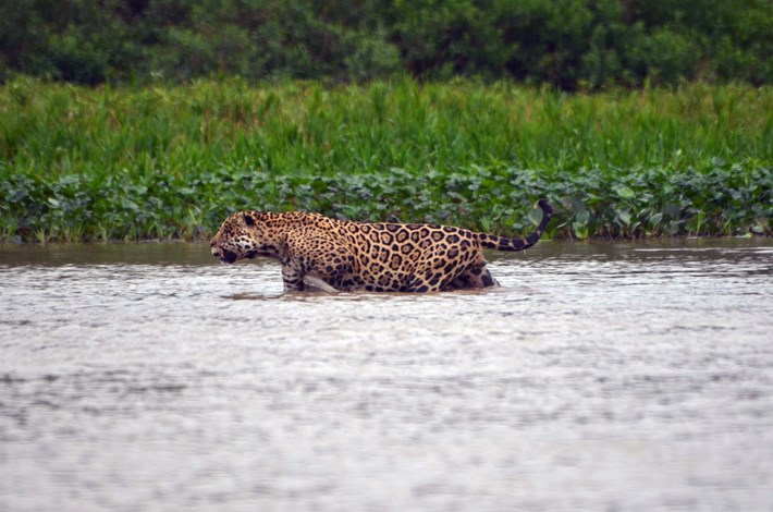 jaguar_river_2017_08_30.jpg