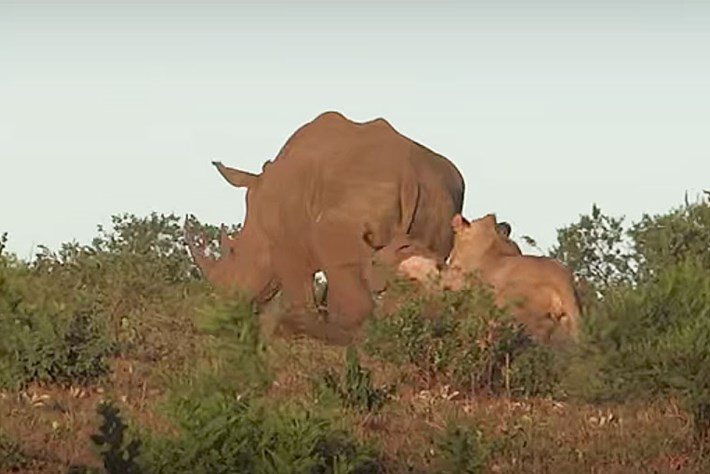 rhino-lion-thumb_2017_08_31.jpg
