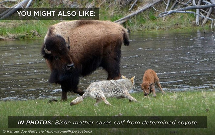 bison_calf_coyote_related_31_08_17.jpg