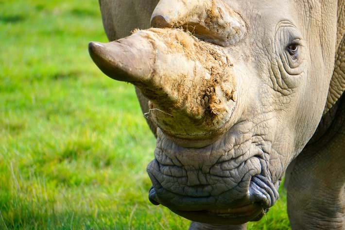 South Africa's first online rhino horn auction ends in risky impasse [Opinion]