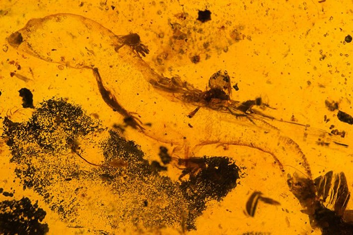 Fossil forensics: Two ancient lizards, two amber-encased mysteries