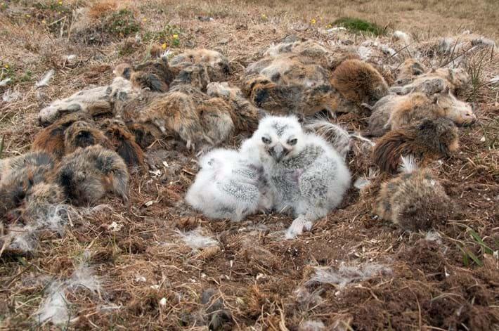 owl-nest-with-lemmings_2017_09_06.jpg