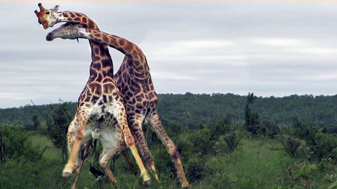 Necking, giraffe-style: Watch two Kruger bulls duke it out | Animal Behaviour | Earth Touch News