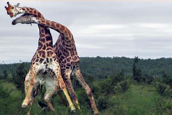 giraffe-fight-thumbnail_2017_09_07.jpg