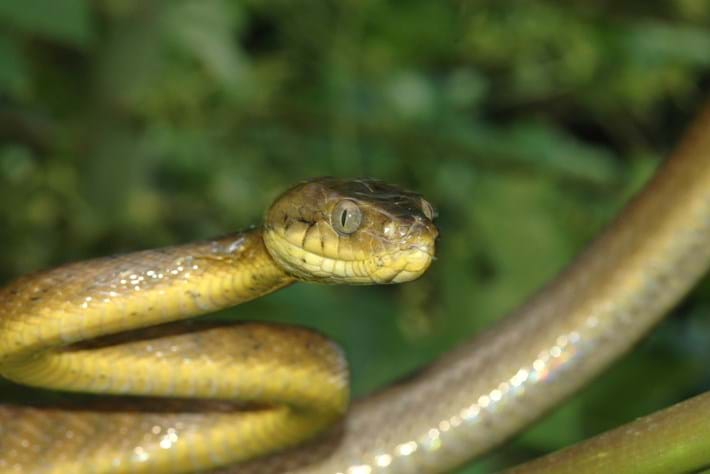 Guam's forests are being slowly killed off – by a snake
