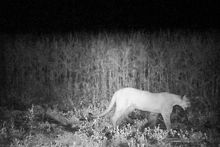 mountain-lion_Iowa_thumbnail_2017_09_11.jpg