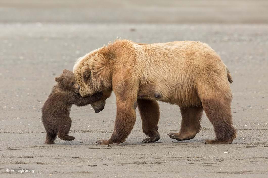 Bear hug_Ashleigh Scully_Wildlife Photographer of the Year_2017_09_11.jpg