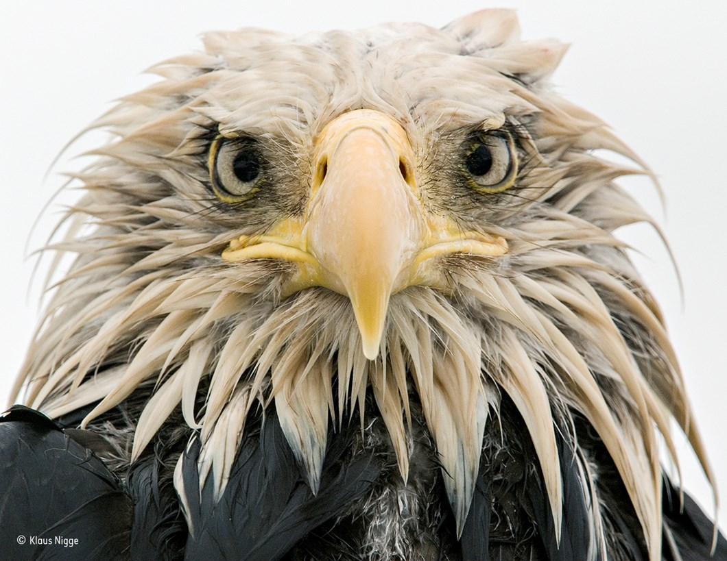 Bold eagle_Klaus Nigge_Wildlife Photographer of the Year_2017_09_11.jpg