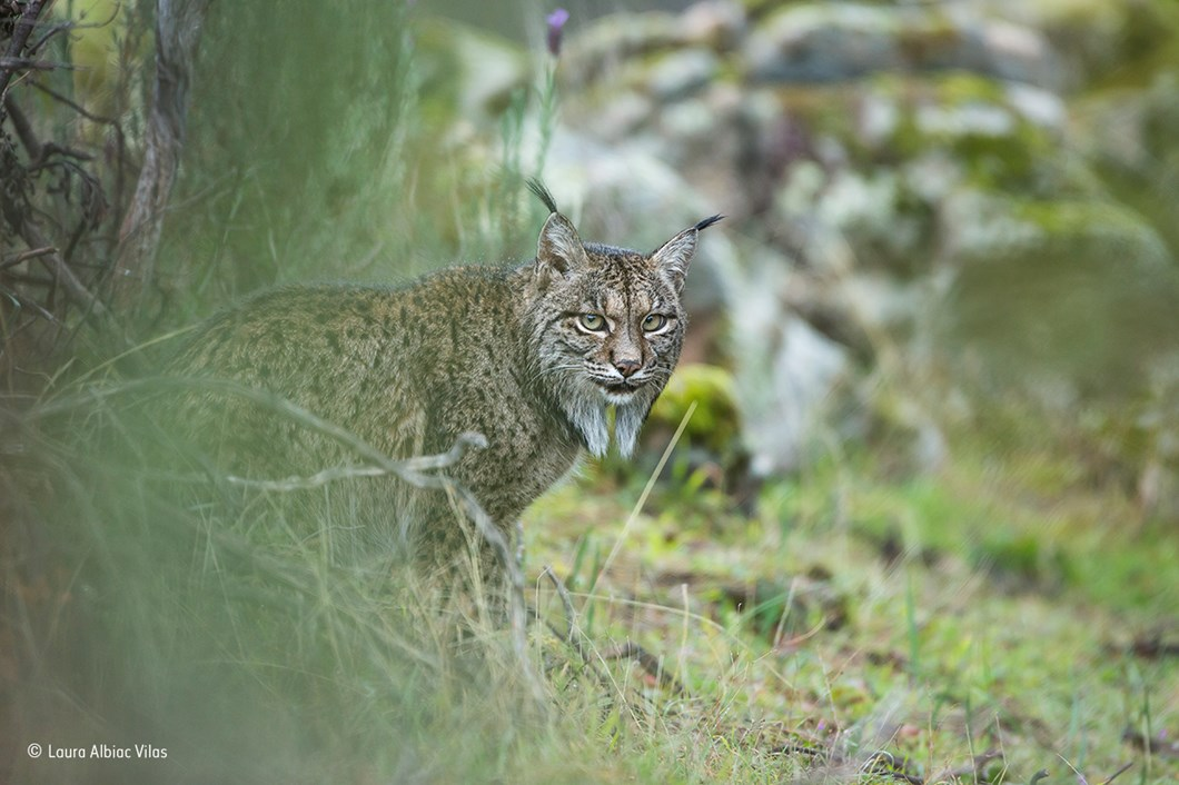 Glimpse of a lynx_Laura Albiac Vilas_Wildlife Photographer of the Year_2017_09_11.jpg