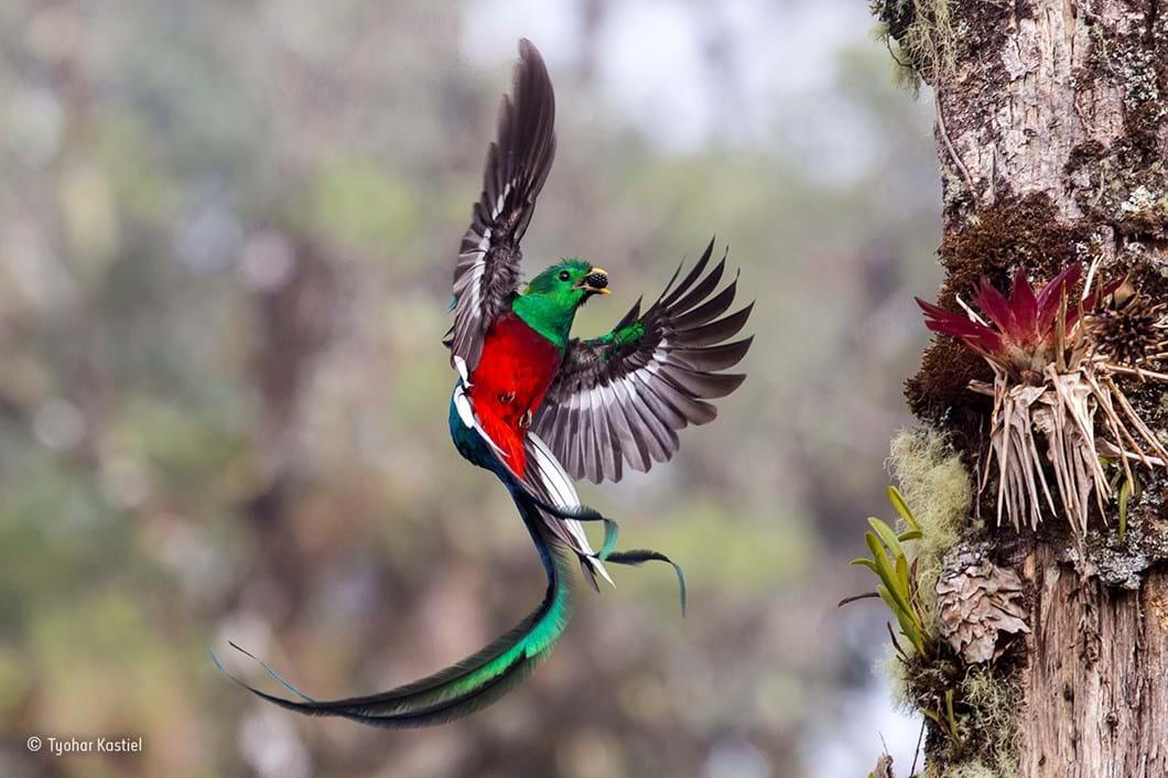 Resplendent delivery_Tyohar Kastiel_Wildlife Photographer of the Year_2017_09_11.jpg