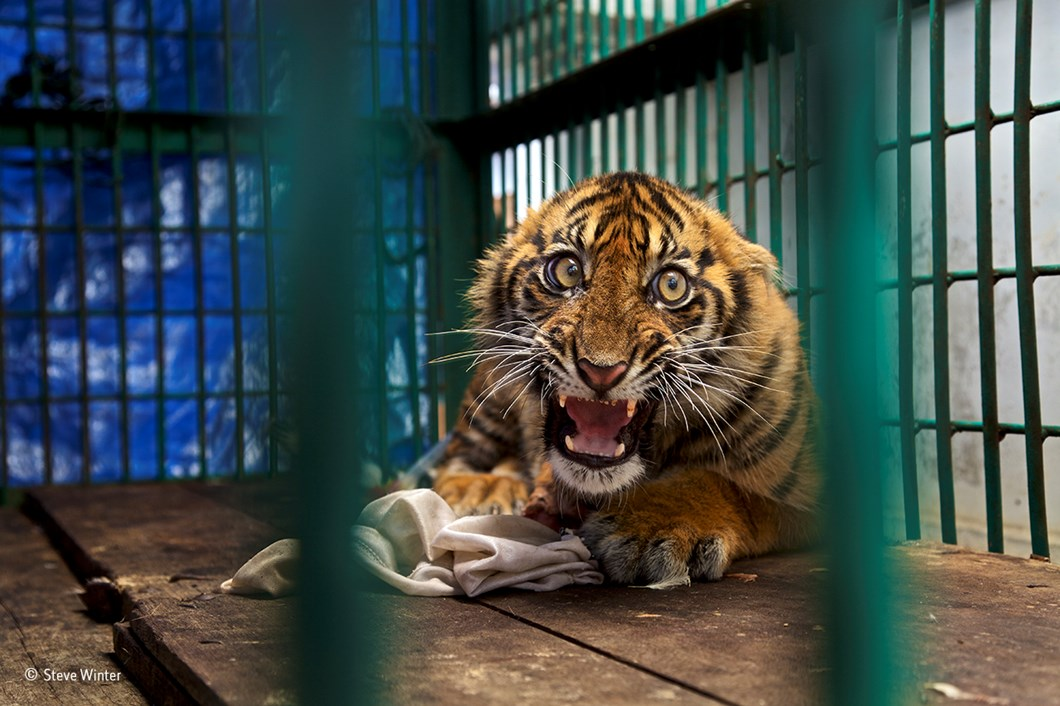 Saved but caged_Steve Winter_Wildlife Photographer of the Year_2017_09_11.jpg