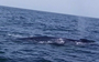 Blue whale (and calf!) filmed off Pakistan for the first time