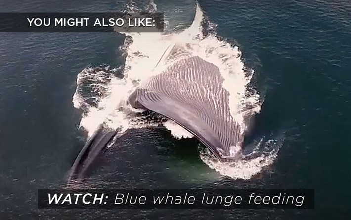 blue_whale_related_content_2017-09-15.jpg