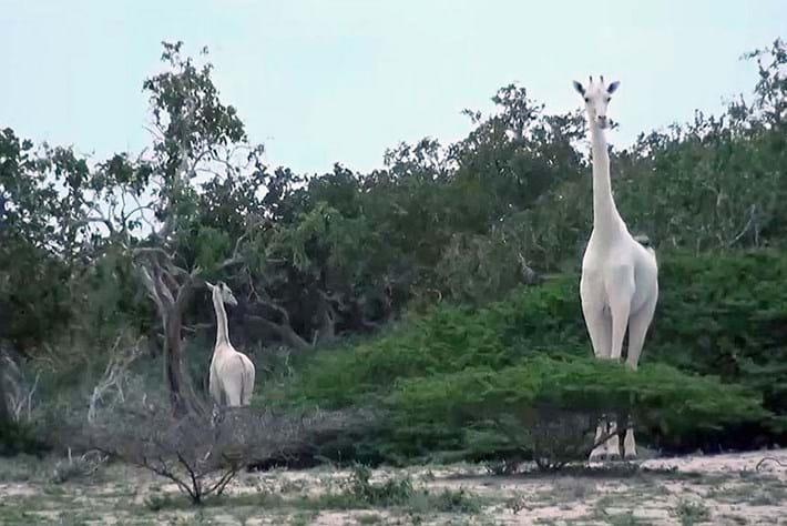 Poachers claim the lives of rare white giraffe and her calf in Kenya