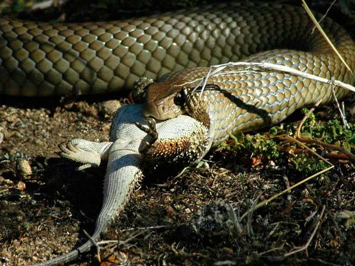 eastern-brown-snake-with-prey_2017_09_19.jpg