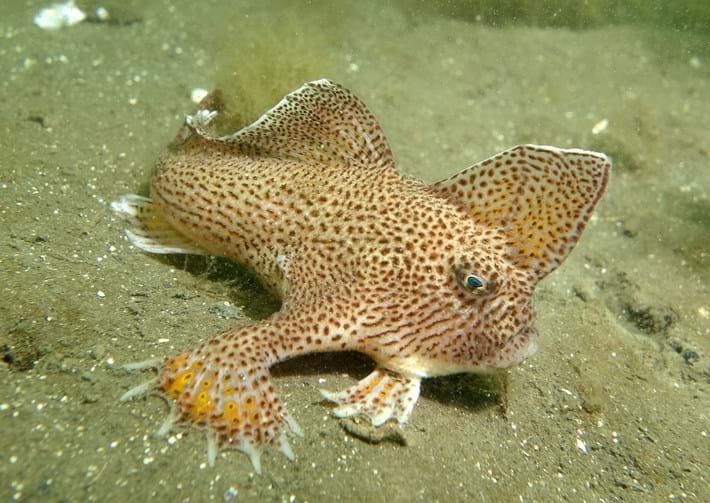 spotted handfish_2017_09_19.jpg