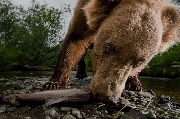 kodiak bear salmon_2017_09_28.jpg