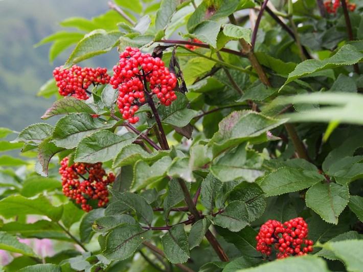 elderberries_2017_09_28.jpeg