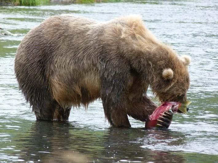 female kodiak bear_2017_09_28.jpeg