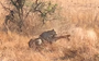 Watch: Leopard tackles impala in perfectly timed ambush