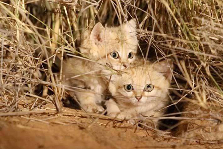 sand-cats-thumbnail_2017_10_02.jpg